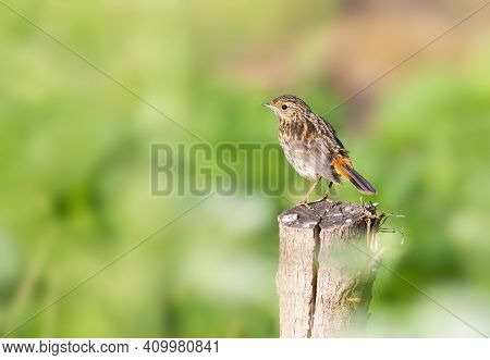 Bluethroat, Luscinia Svecica. Chick, A Young Bird Sits On A Tree Stump Near The River On A Beautiful