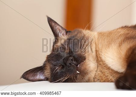Portrait Of A Siamese Cat With Beautiful Blue Eyes Which Is Resting And Sleeping On The Bed