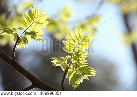 Spring rowan berry leaves Nature background Nature background foliage twig Nature branch tree Nature background Nature background Nature fresh Nature green Nature background color Nature background yellow leaf outdoor Nature background Nature background.