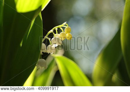 Lily of the valley spring flower Nature flower background flower Nature flower Nature background flower Nature wildflower flower Nature background flower Fresh Nature background Nature flower Nature background White flower Nature flower Nature background.