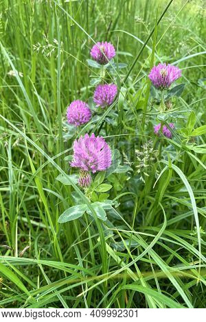 Pink Clover Flowers With Tender Petals. Flowering Of Clover In The Sunny Summer Wild Meadow. Bright
