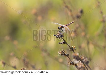 Dragonfly On A Dry Plant. A Copper Colored Dragonfly A Natural Green Blurred Background. Close-up In