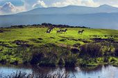 Zebras on green grassy hill. Ngorongoro crater, Tanzania, Africa poster