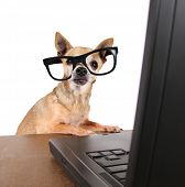 a chihuahua surfing the internet on a laptop poster