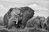 Elephant herd wading in swamp close up monochrome Amboseli Kenya East Africa poster