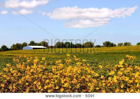 Barn In Soy Bean Field