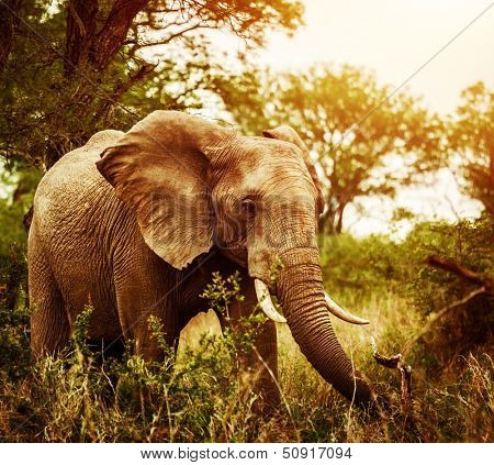 poster of Huge elephant outdoors, big five, game drive, African nature, beautiful wild animal, national park, travel and tourism concept