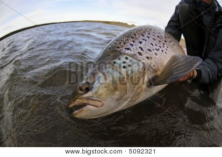 Large Brown Trout
