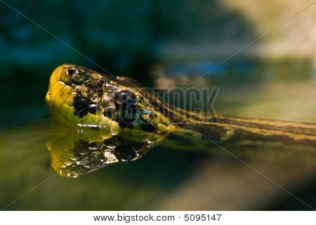 Swimming Yellow Anaconda