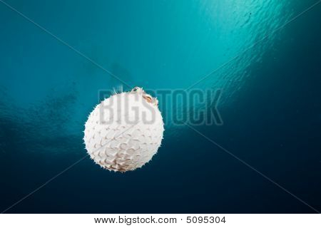 Ocean, Sun And Yellowspotted Burrfish