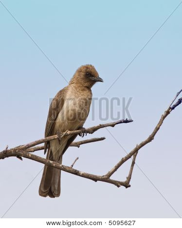Common Bulbul In The Gambia
