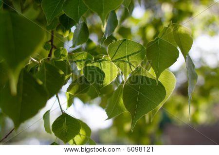 Back Lit Tree Leaves