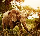 Huge elephant outdoors, big five, game drive, African nature, beautiful wild animal, national park, travel and tourism concept  poster
