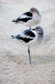 Two American Avocets resting - Recurvirostra americana poster