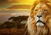 Lion portrait on savanna landscape background and Mount Kilimanjaro at sunset poster