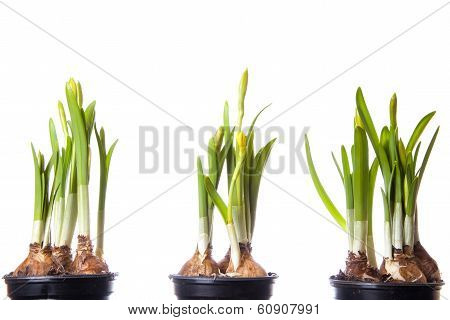young narcissus on white background