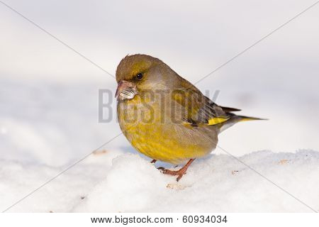 Greenfinch In Garden Eating Seed