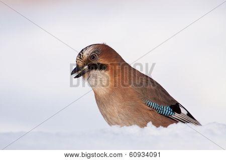 Jaybird Eating White Bread