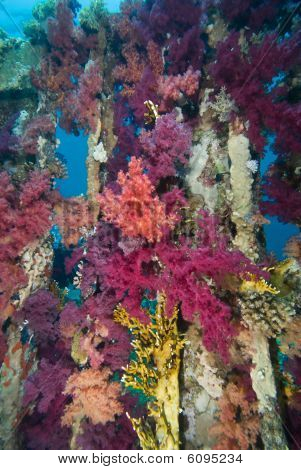 Vibrant Purple Broccoli coral (Dendronephthya klunzingeri) growing on an artificial reef. Red Sea Egypt. poster