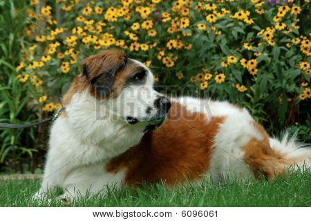 St. Bernard in flowers