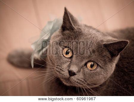 British short-hair cat looking At Camera, close-up.