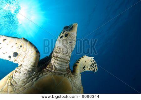 A Juvenile Hawksbill Turtle (eretmochelys Imbricata)