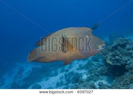 Napoleon wrasse (cheilinus undulatus) endangered. Red SeaEgypt. poster