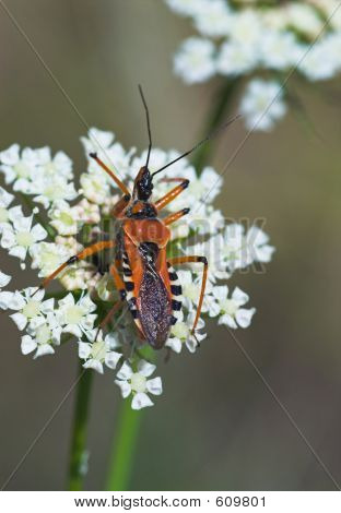 Close-up Of Orange Assassin Bug On White Flower