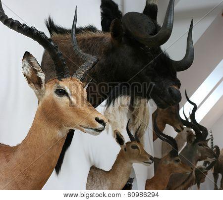 antelope trophy room