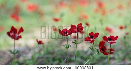 Blooming anemones field