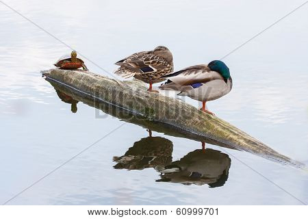 Pair Of Ducks And Turtle On The Autumn River