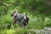 A large tom turkey in northern wisconsin woods. poster