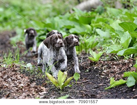 german shorthaired pointer litter running in the forest - 8 weeks old