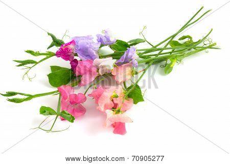 Sweet Peas Multicolor Flowers