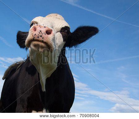 black cow attacks