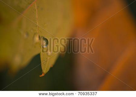 Water Drop On Autumn Leaf