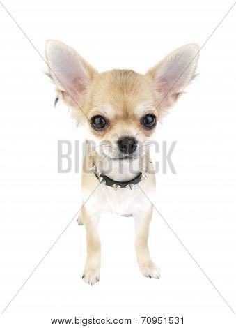 Chihuahua puppy with black leather studded collar