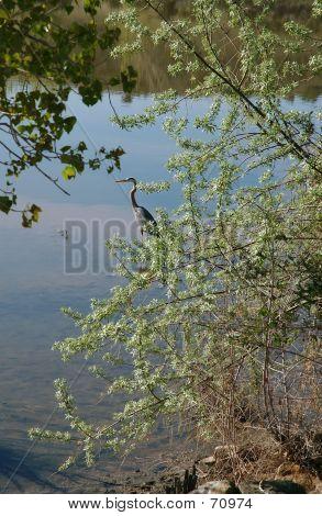 Great Blue Heron At Lakeshore