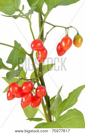 Poisonous Solanum dulcamara berries on branch isolated on white background close up view poster