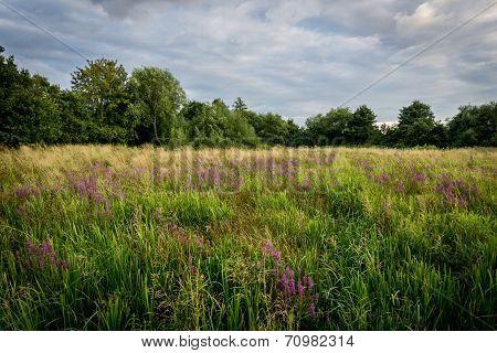 Meadow With Pruple Flowers