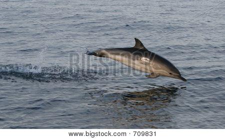 Airborne Irish dolphin poster