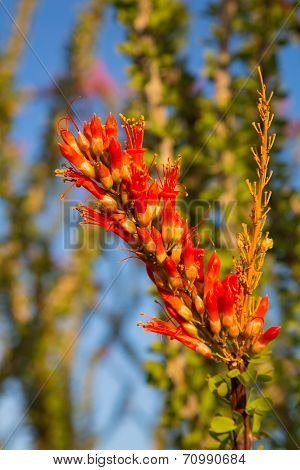 Blossoming Ocotillo