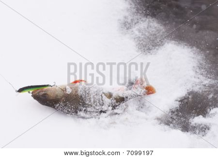 Perch being pulled out of water to snowy shore. Lots of copy space. Released after taking photo poster