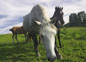 horses on the pasture poster