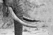 Muddy elephant trunk and tusks close-up in artistic black and white conversion poster