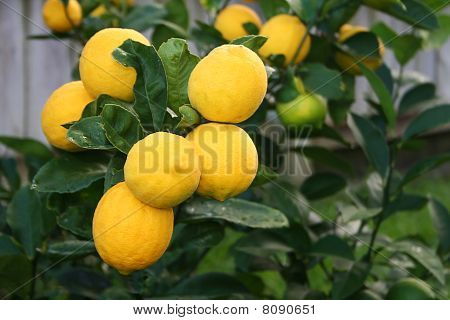 Bright Yellow Mayer Lemons