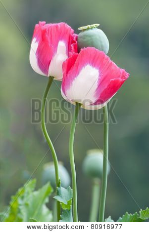Pink Opium Poppy Flower.