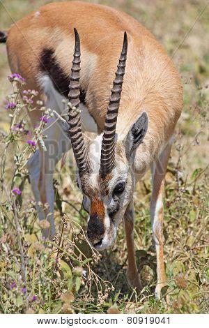 Thomson's Gazelle Grazing