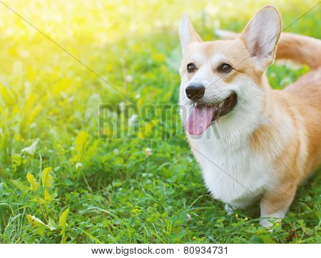 Happy Dog Welsh Corgi Pembroke In Summer Day