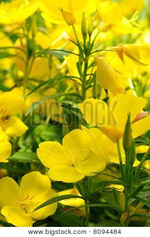 Evening primrose flowers on a flower bed poster